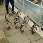 城崎マリンワールドのペンギン散歩